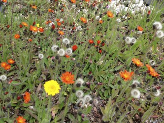 Orange Hawkweed or Fox and Cubs
